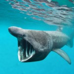Worm Lab- basking shark