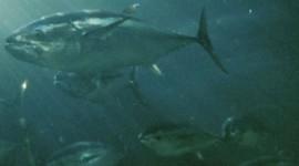 bluefin_tuna_single